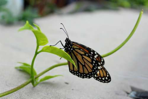 Monarch Butterfly Plant Insect Nature Animal