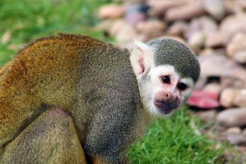Monkey Squirrel Monkey Mammal Cute Primate Zoo
