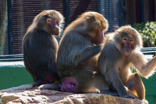 Monkeys Sognering Zoo Social Captivity