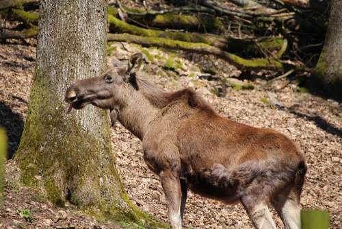 Moose Wild Animal World Park Wild Animals Forest