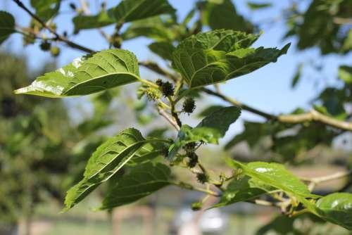 Morus Alba Tree Spring Fruit Leaves Green Nature