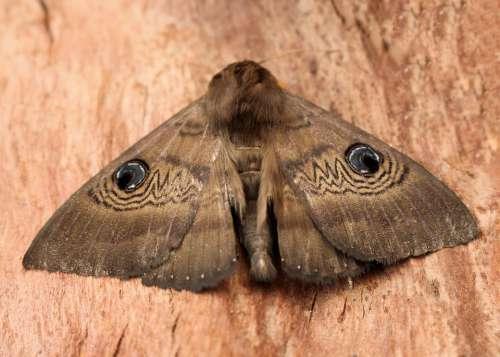 Moth Blue Eye Pattern Camouflage Brown Wings Large