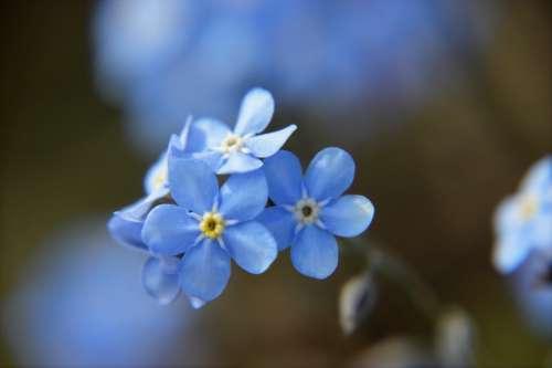 Myosotis Blue Flower Spring Flowering Plant