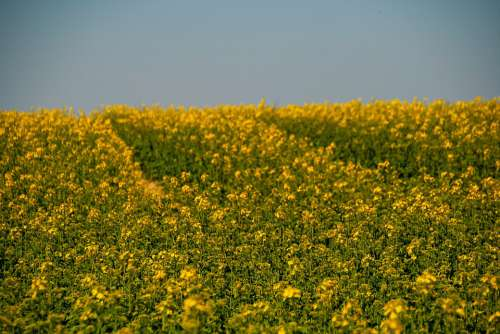 Natur Yellow Flowers Field Background Textur