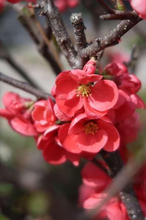 Natural Flowers Plum Red Seasonal Spring Plant