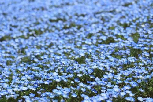 Natural Flowers Spring Nemophila Blue 瑠璃唐草