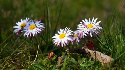 Nature Plants Flowers Spring Daisies Meadow