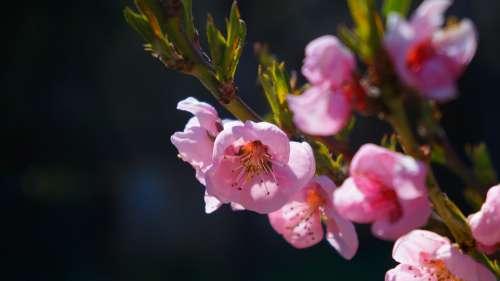 Nature Plants Flowers Pink Spring Sprig Tree