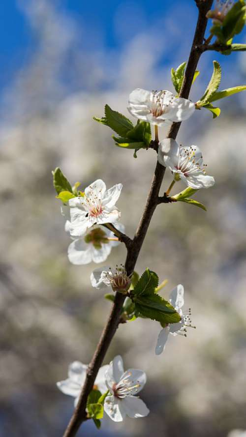 Nature Flowers Cherry Spring May April White