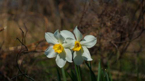 Nature Plants Daffodil Narcissus Garden Flowering