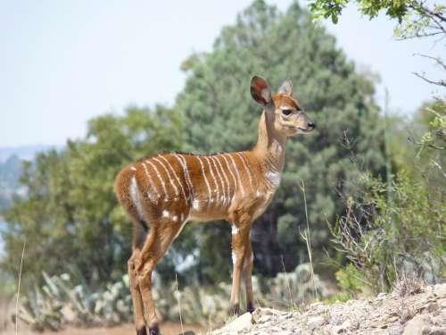 Nyala Antelope Mammal Africa Animal Nature