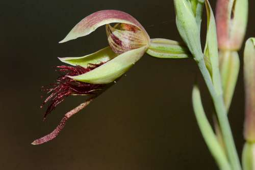 Orchid Wildflower Australia Calochilus Grandifloras