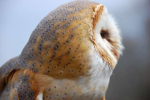 Owl Bird Barn Owl Nature Animal Animal World