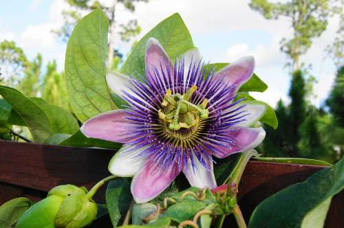 Passion Flower Trellis Vine Garden Ornamental
