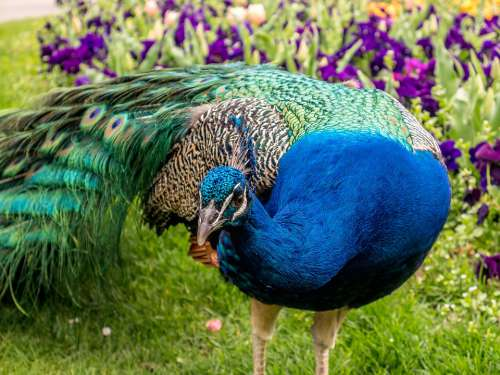 Peacock Feather Animal Colorful Zoo Nature Bird