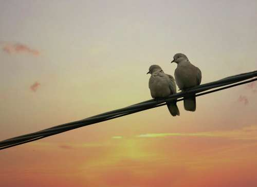 Pigeons Birds Two Pair Love Mating Sunrise
