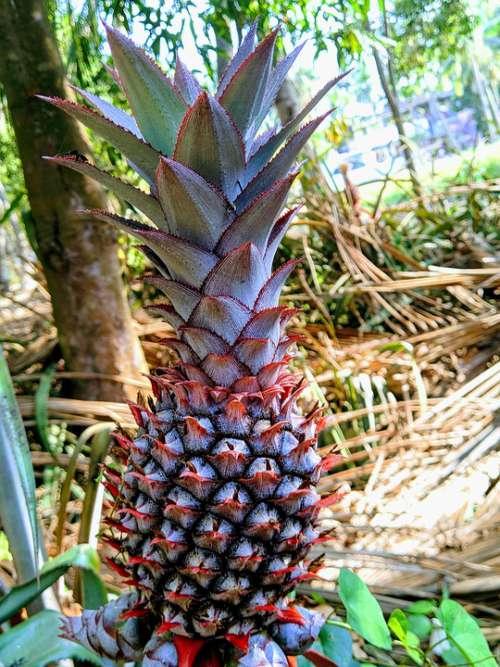 Pineapple Fruits Natural