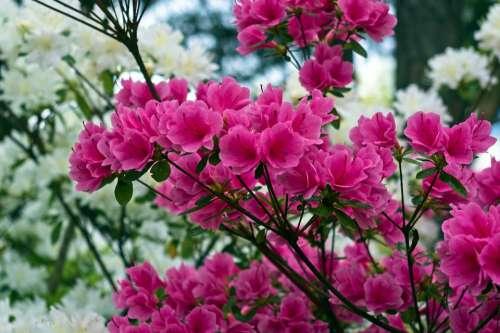 Pink Over White Azaleas Blossoms Azalea Bloom