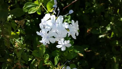 Plumbago Garden Flower Nature