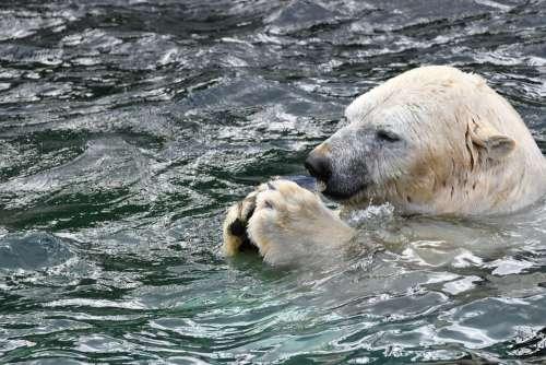 Polar Bear Zoo Animal White Carnivores