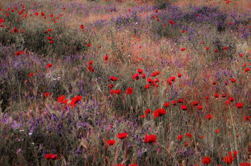 Poppies Fields Greece Nature Landscape Tree Sun