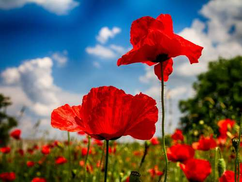 Poppy Nature Landscape Red Flower Meadow