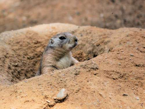 Prairie Dogs Prériový Rodent Animal Head Nora