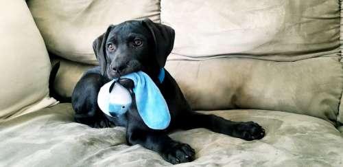 Puppy Black Lab Toy Playing Laying Dog Animal