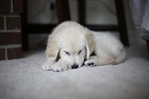 Puppy Golden Retriever Cute Pet Fur Puppies