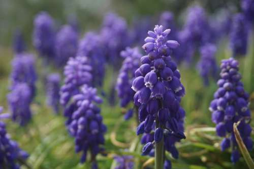 Purple Flower Grape Hyacinth Nature Spring Botany