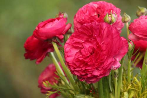 Ranunkeln Flowers Pink Garden Green Floristry