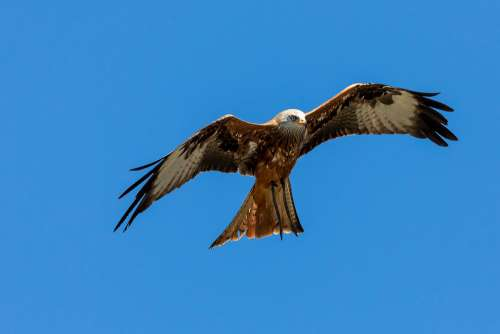 Red Kite Milan Raptor Wing Flying Span Feather
