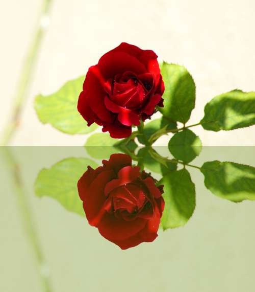 Red Rose Mirror Reflections Mood Romantic