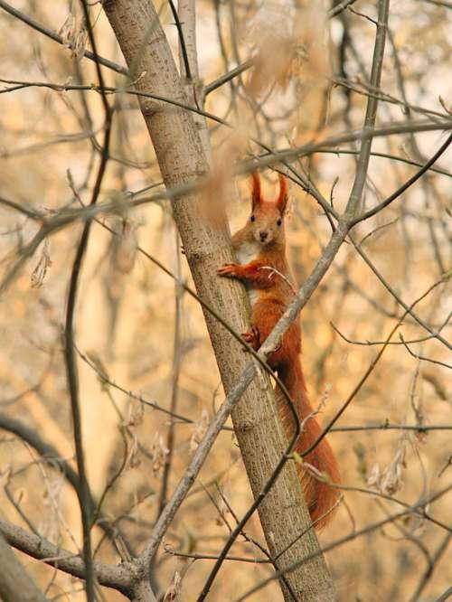 Red Squirrel Protein Eurasian Red Squirrel