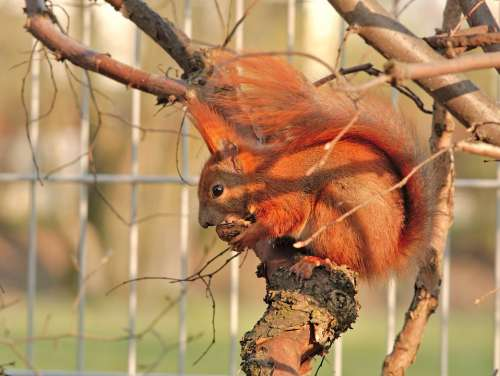 Red Squirrel Protein Eurasian Red Squirrel