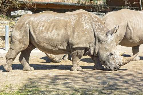 Rhino Rhinoceros Big Game Pachyderm Wild Animal