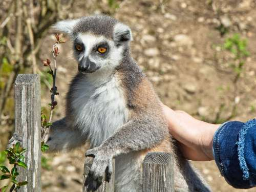 Ring Tailed Lemur Lemur Catta Lemur Madagascar