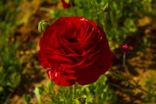 Rosa Red Roses Love Flowers Flower Plant