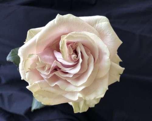 Rose Flower Pink Faded Petals