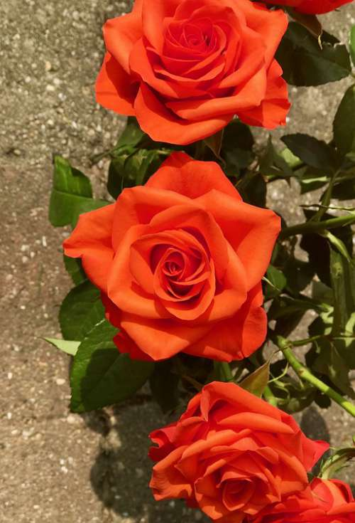 Roses Flowers Bloom Romantic Red Valentine'S Day