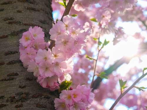 Sakura Cherry Blossom Bloom Spring Nature Pink