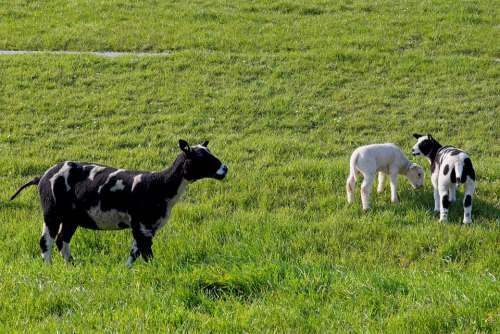 Sheep White Black Lamb Wool Cattle Animals
