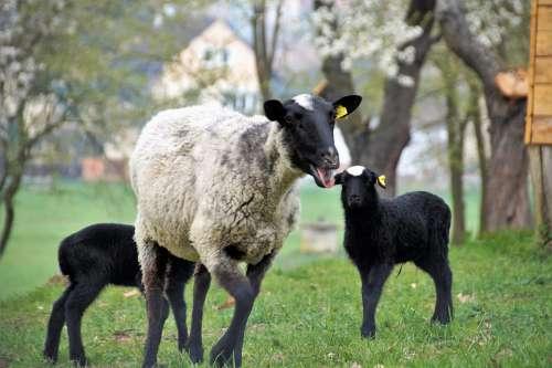 Sheep Suffolk Animal Home Breeding Farm Pasture