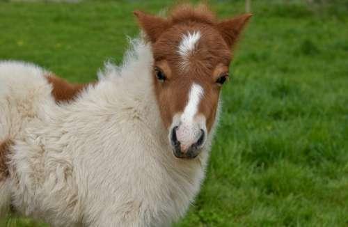 Shetland Pony Pony Jarod Small Horse Foal