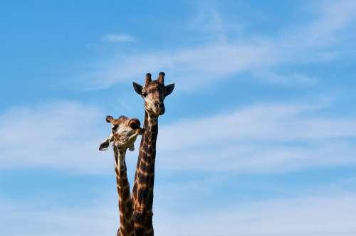 South Africa Safari Animal World Nature Giraffe