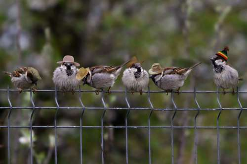 Sparrows Hats Funny Birds Fence
