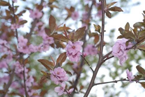 Spring Flowers Pink Blossom Plant Botanical