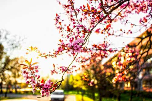 Spring Blooms Flowers Beauty Pink The Smell Of