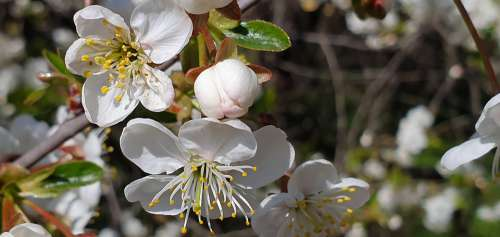 Spring Cherry Blossoms White Flowers Branch Garden