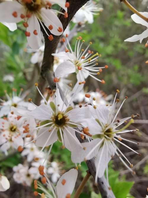 Spring Blossom Bloom Nature Close Up White